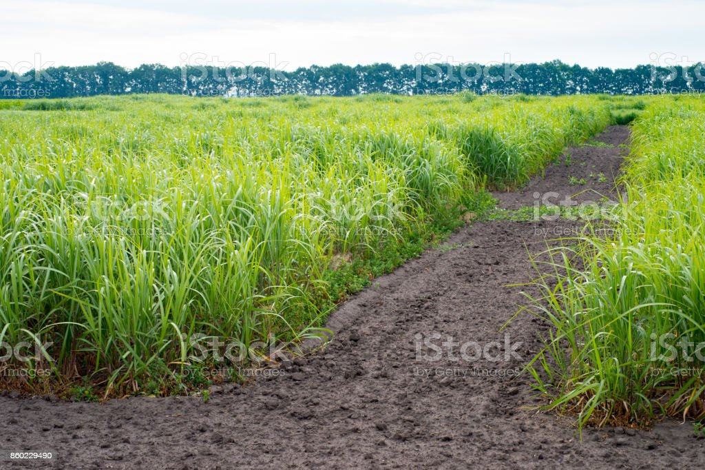 A field of young switchgrass stock photo