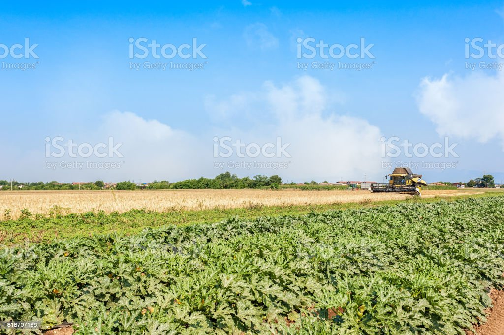 Field of zucchini and wheat field with thresher at work. stock photo