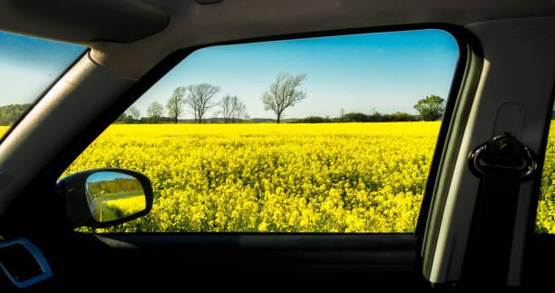 Field oilseed rape stock photo