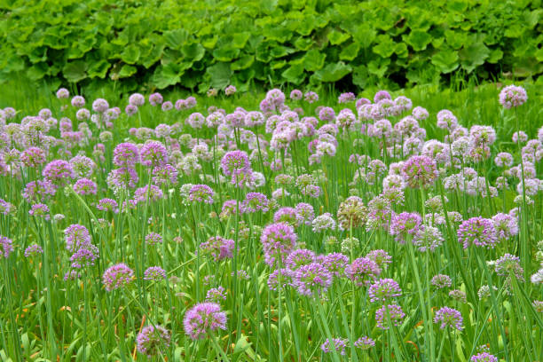 Field overgrown with decorative onions.