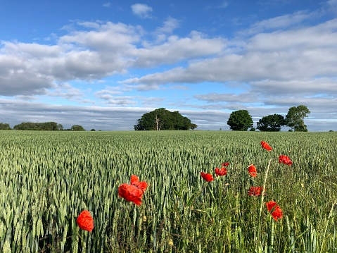 Field Poppies Papaver rhoeas in flower at the edge of a wheat field in June, North Yorkshire, England, United Kingdom