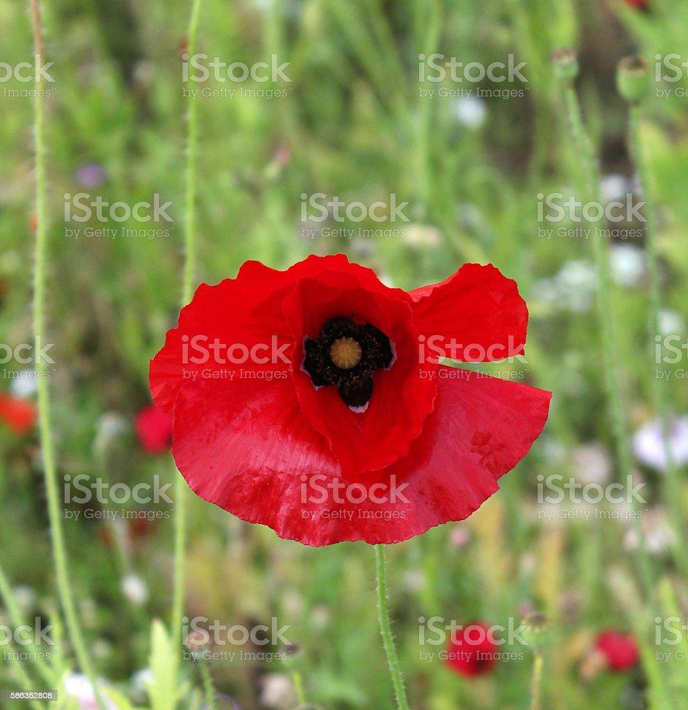 Field Poppy in Wildflower Field stock photo