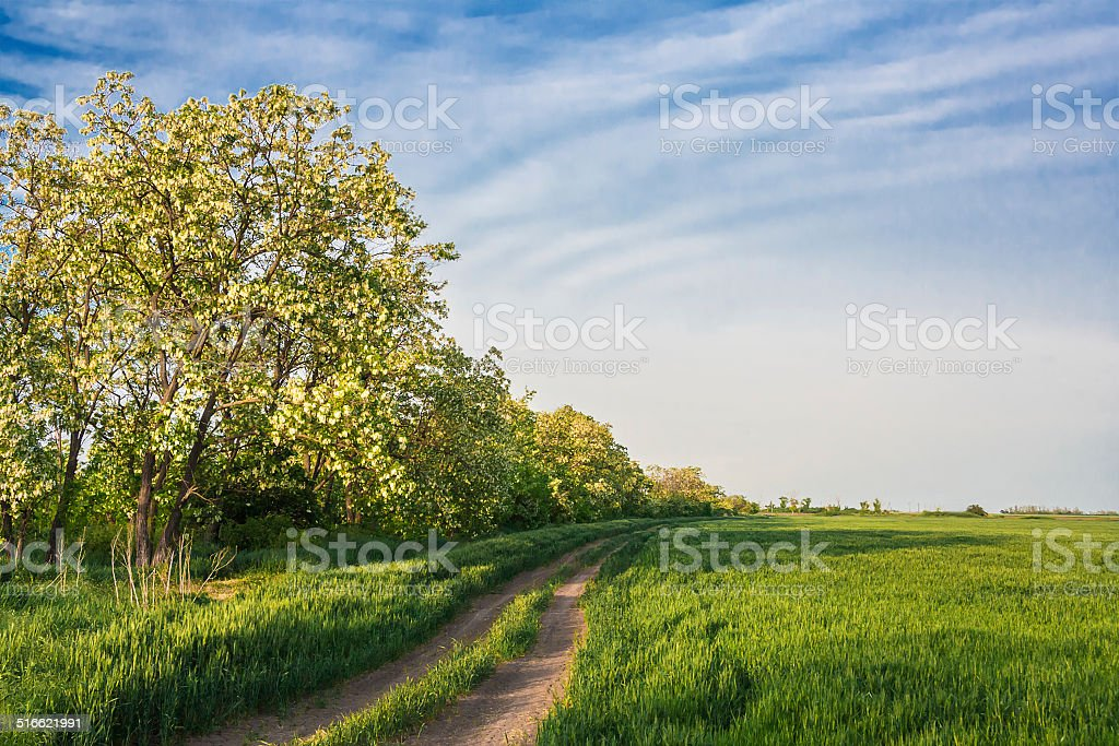 Field road among green wheat and locust stock photo