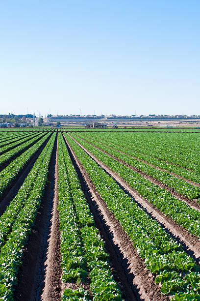 field rows of lettuce in arizona desert stock photo
