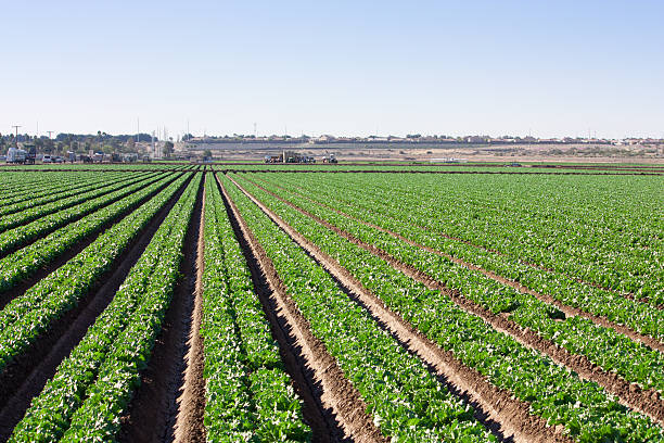 field rows of lettuce stock photo