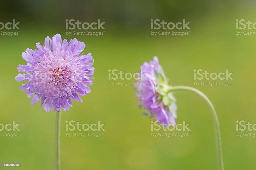 Field scabious flower blossoming in the green with blurred meado stock photo