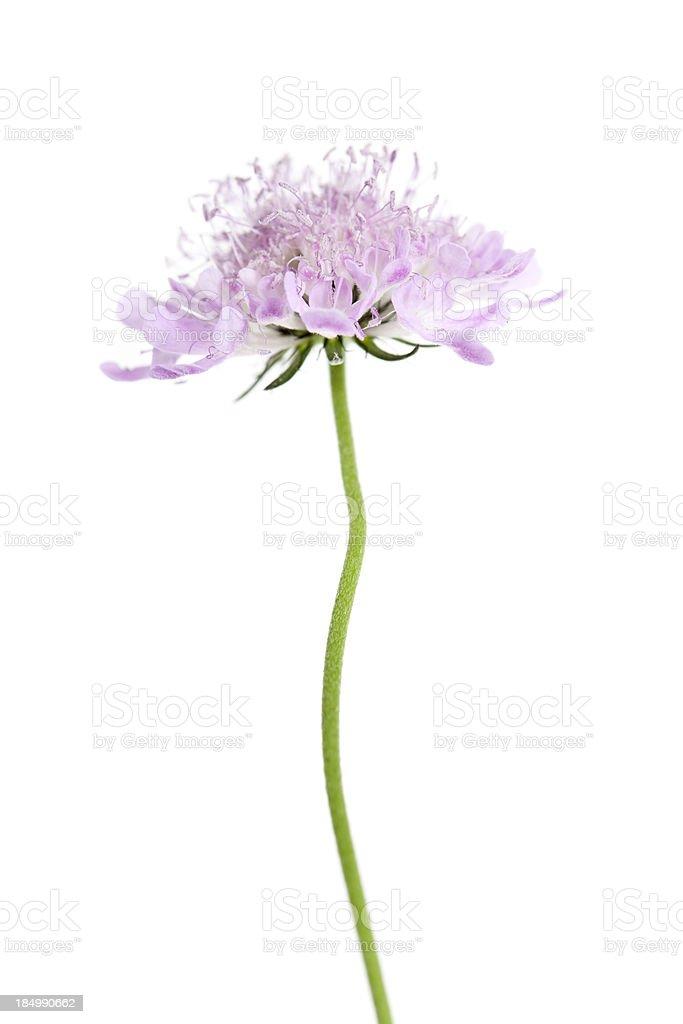 Field Scabious (Knautia arvensis) stock photo