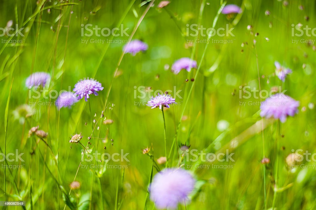Field Scabious stock photo