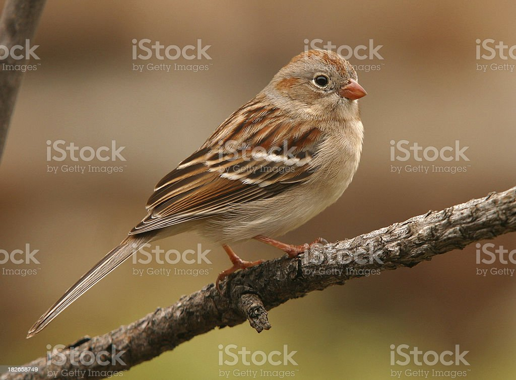 Field Sparrow stock photo