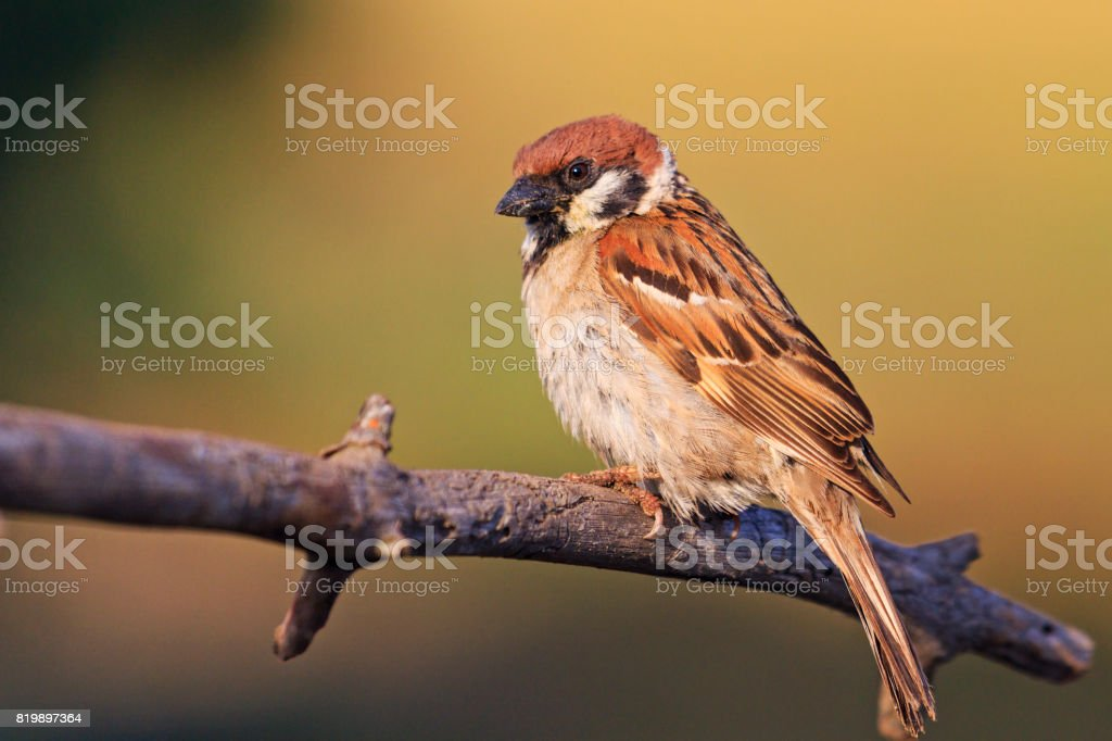 field sparrow sits on the branches in the rays of the sun stock photo