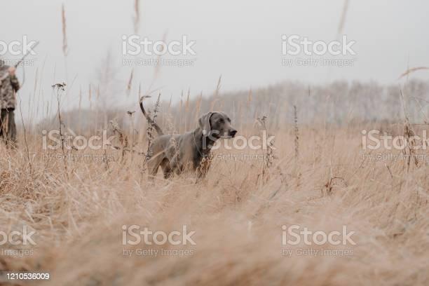 Field training for a hunting weimaraner dog picture id1210536009?b=1&k=6&m=1210536009&s=612x612&h=ehp0mg    gs7zrnoxcynxsrymclmgwc3bvwmcv mm0=