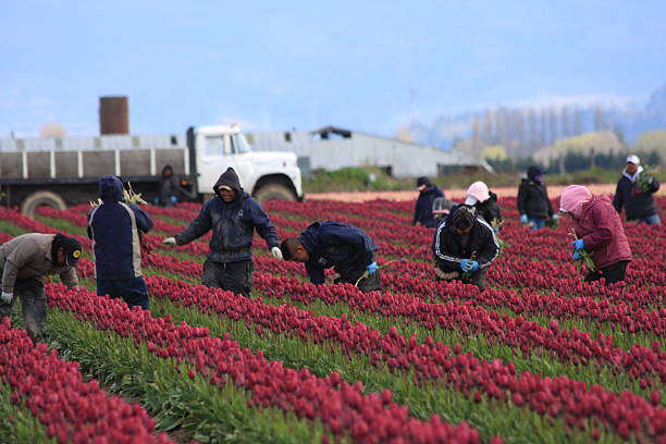 Field Tulip Workers stock photo