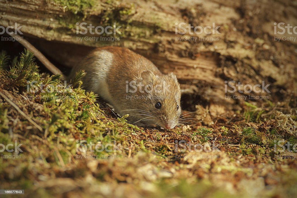 Field vole foraging under fallen tree royalty-free stock photo