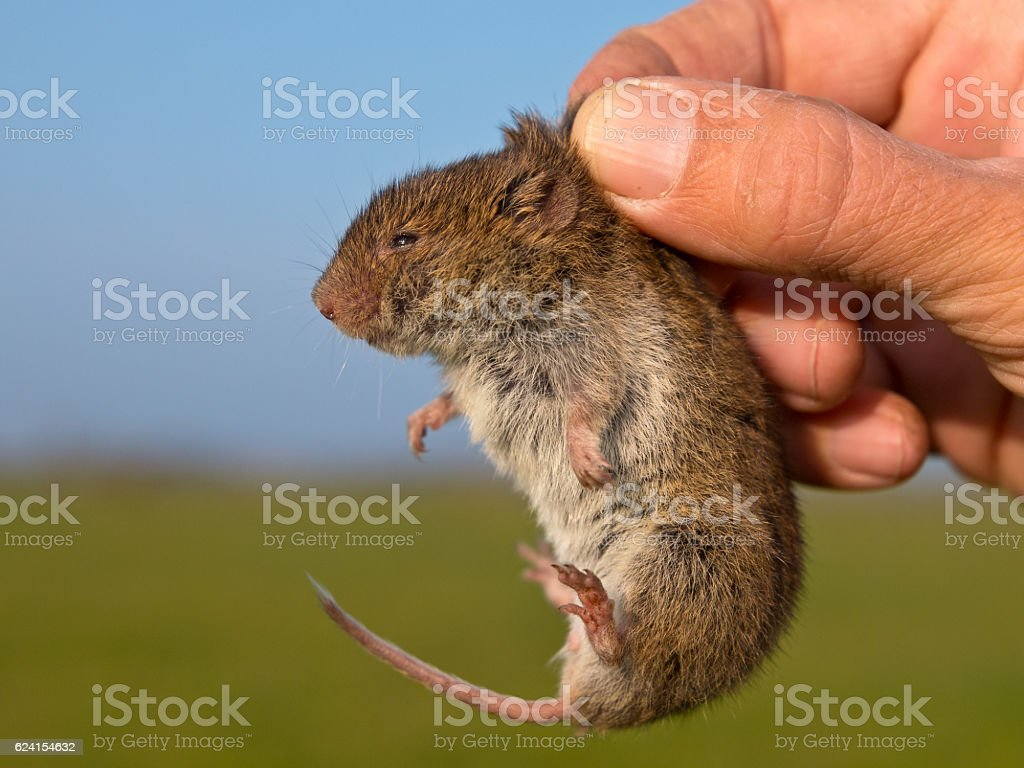 Field vole (Microtus agrestis) kept in hand by researcher stock photo