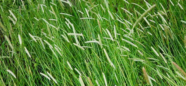 istock Field with a high Timothy grass 683633572