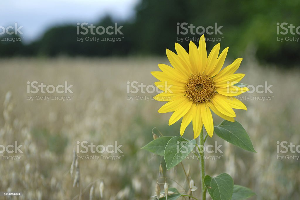 Field with alone sunflower royalty-free stock photo