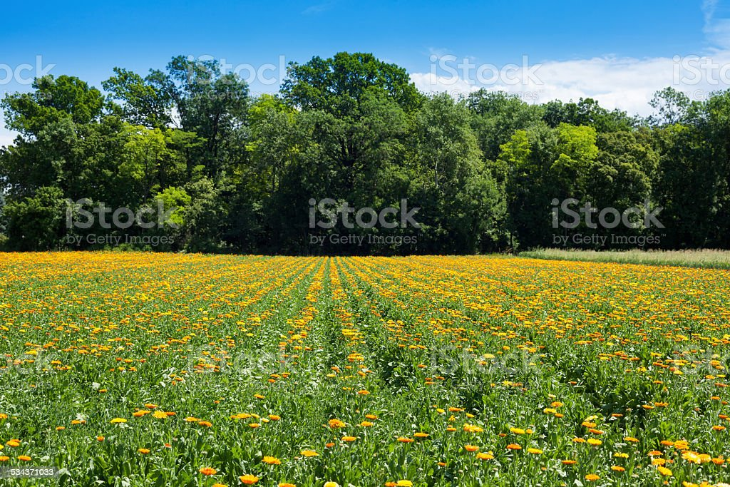 Field with blooming Marigolds stock photo