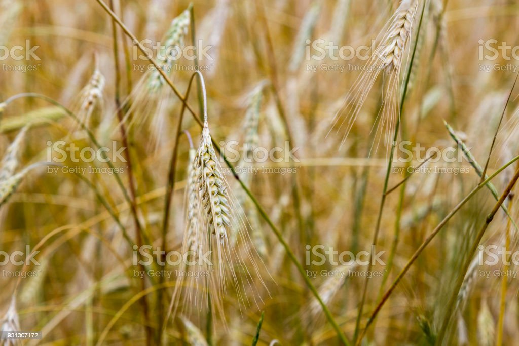 A field with bold wheat. spikelets of wheat. Yellow background. stock photo