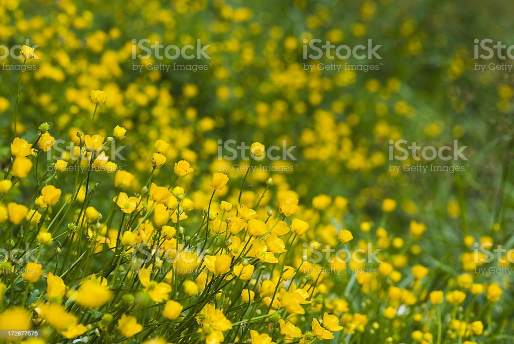 Field with Buttercup flowers royalty-free stock photo