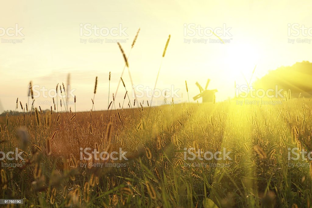 Field with cattails in the setting sun royalty-free stock photo