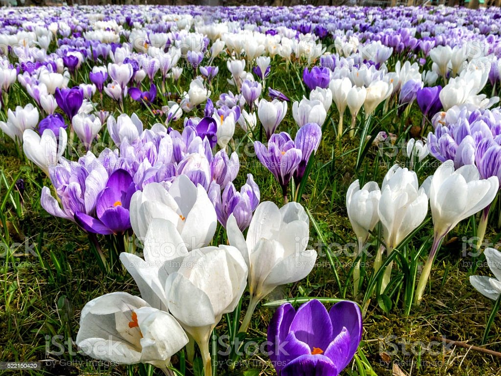 Field with colorful crocuses stock photo