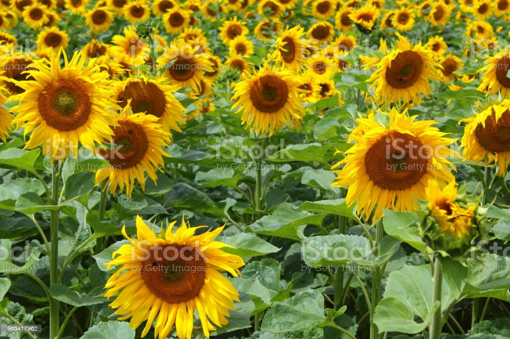 field with common sunflowers (Helianthus annuus) royalty-free stock photo