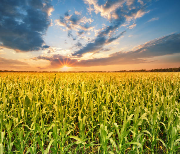 field with corn at sunset - agricultural field stock photos and pictures