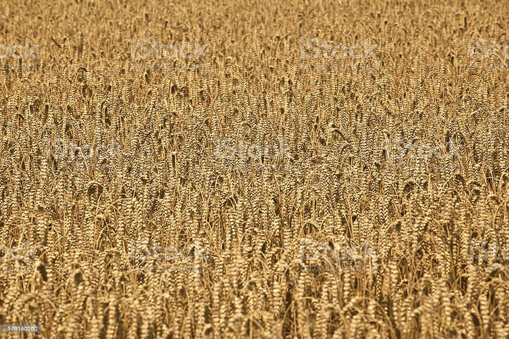 field with corn ready for  harvest royalty-free stock photo