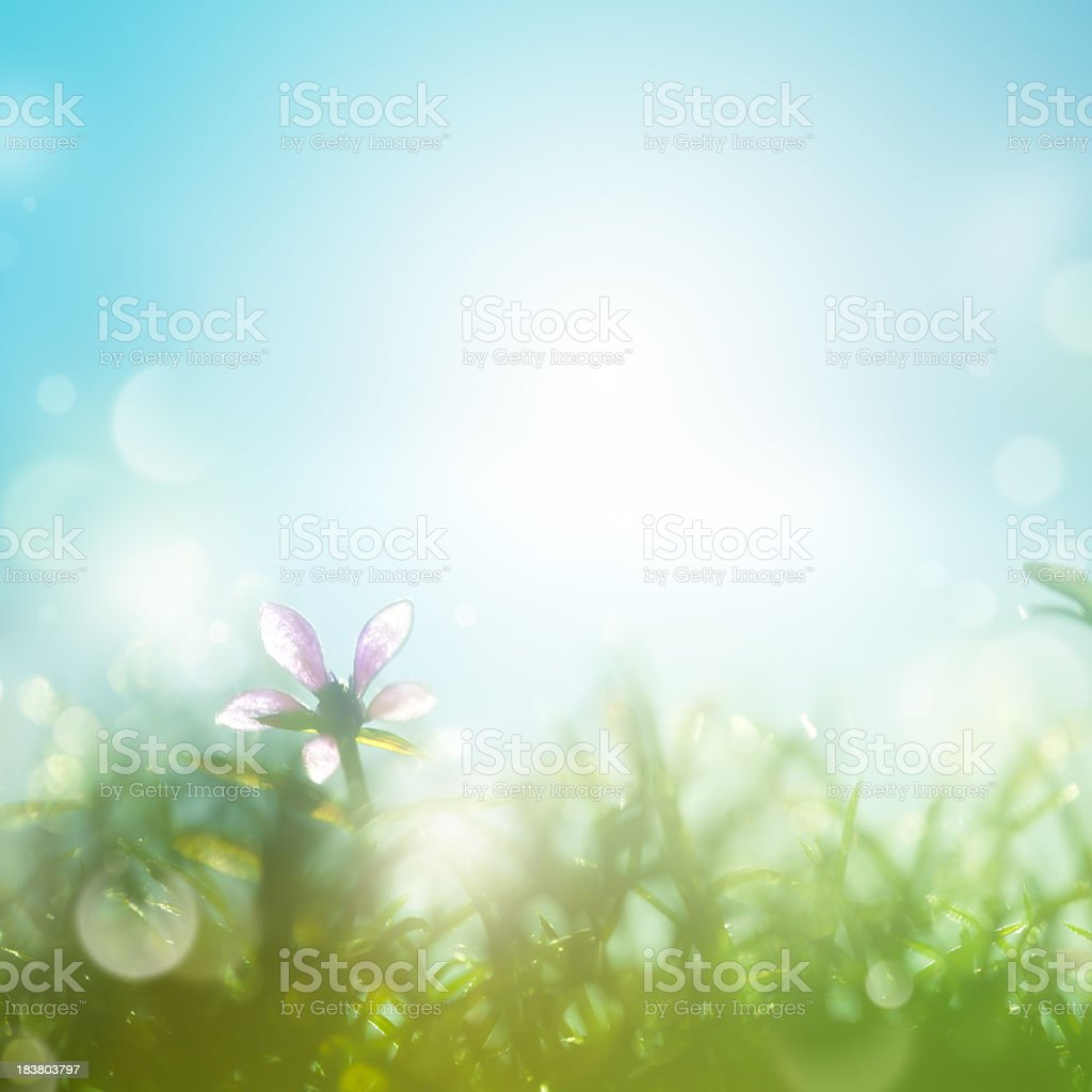 Field with daisies in the early morning. stock photo