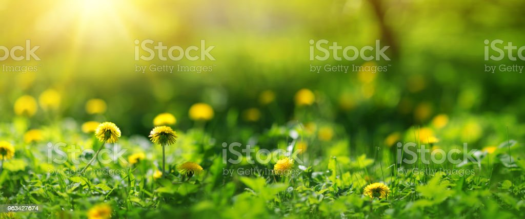 Field with dandelions. Closeup of yellow spring flowers - Zbiór zdjęć royalty-free (Bez ludzi)