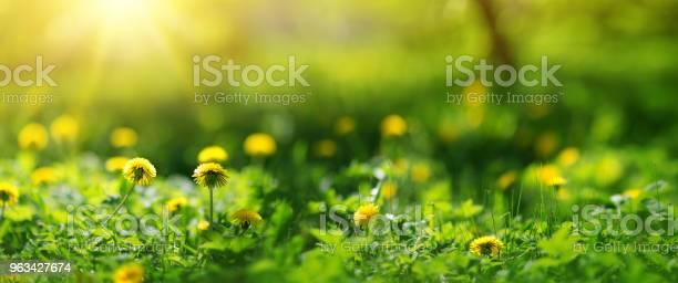 Pole Z Mniszek Lekarski Zbliżenie Żółtych Wiosennych Kwiatów - zdjęcia stockowe i więcej obrazów Kwiat - Roślina