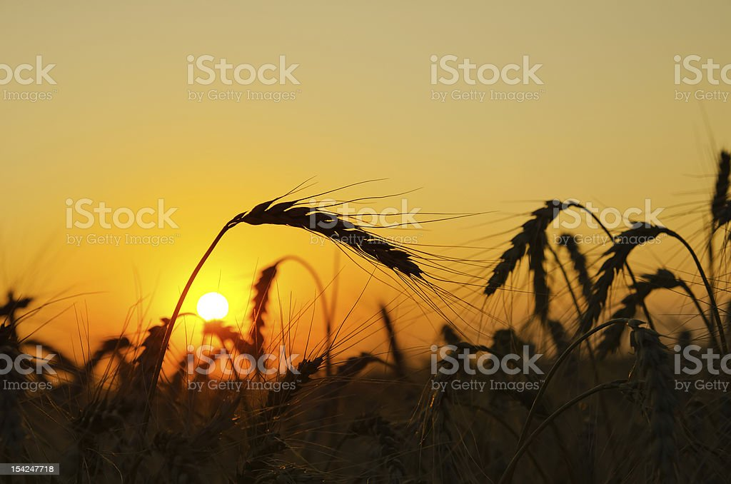 field with gold ears of wheat in sunset royalty-free stock photo