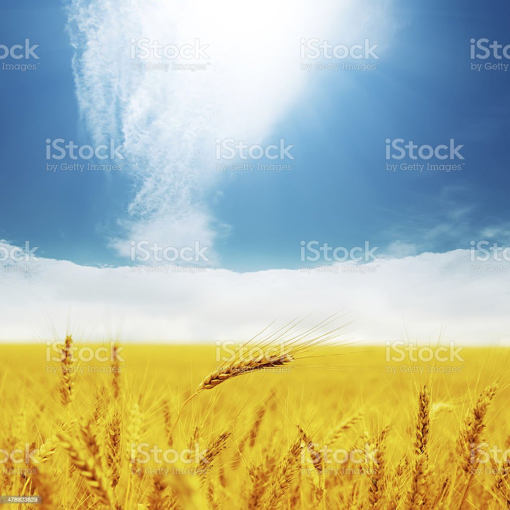 field with golden barley and clouds in blue sky royalty-free stock photo