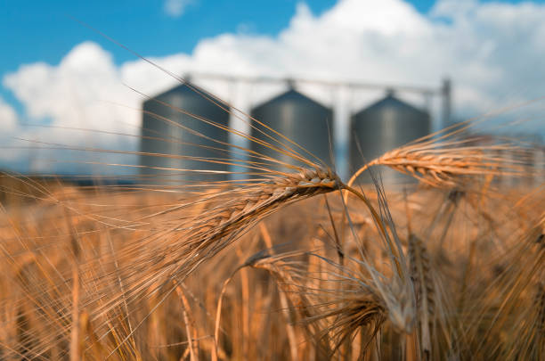 field with grain silos for agriculture Farm, wheat field with grain silos for agriculture agricultural cooperative stock pictures, royalty-free photos & images