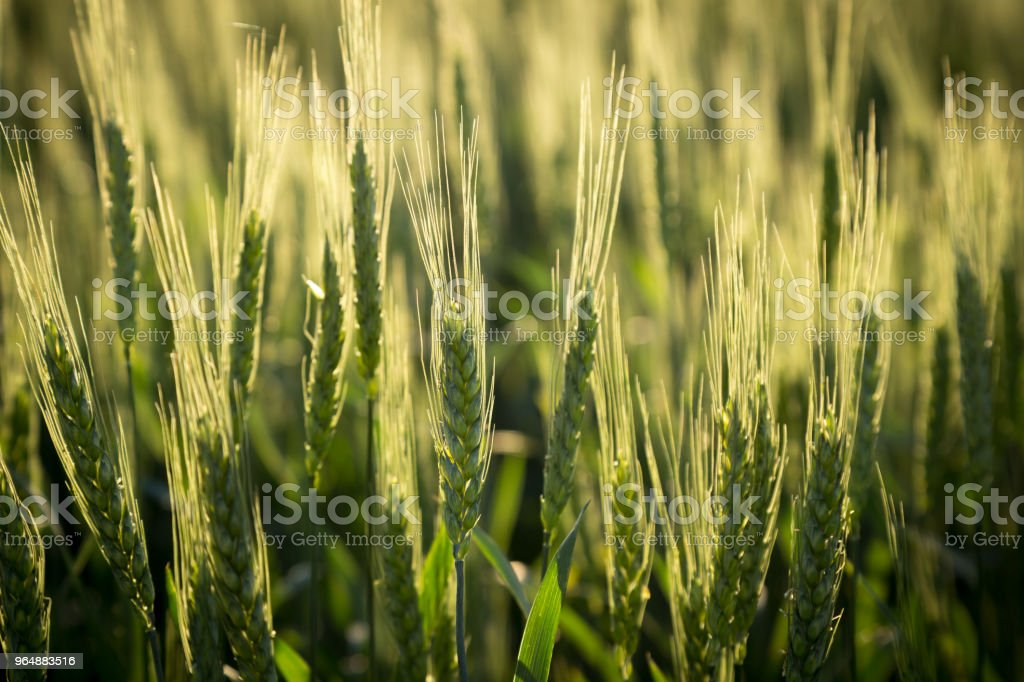 field with green unripe wheat, closeup royalty-free stock photo