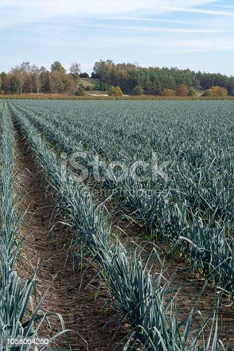 Field with growing leek onion plants, autums season on farms in Netherlands