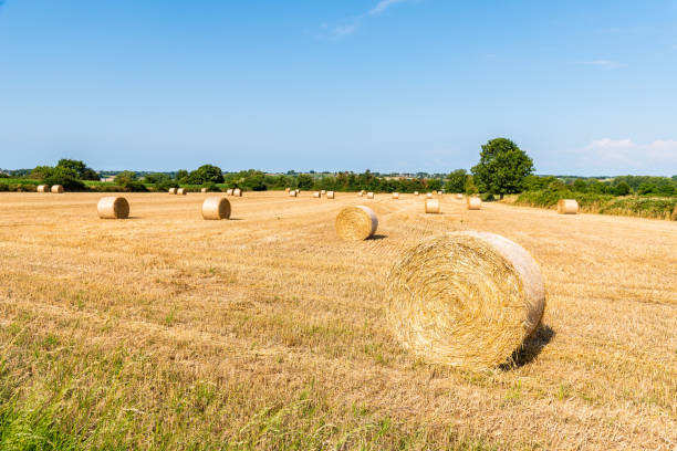 Field with hay bales after harvest in summer stock photo