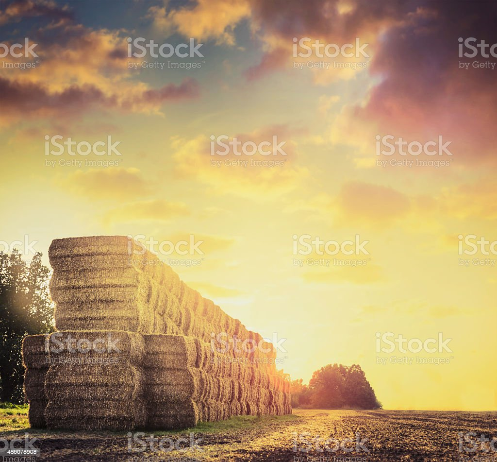 Field with hay or straw bales on background of sunset stock photo