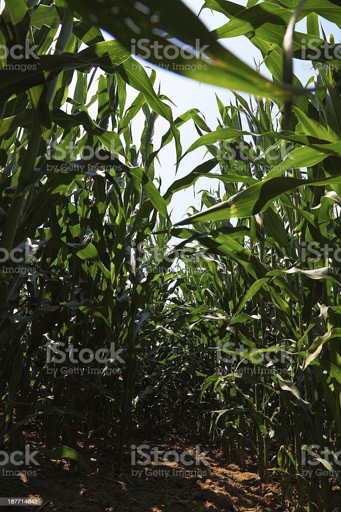 field with mays royalty-free stock photo
