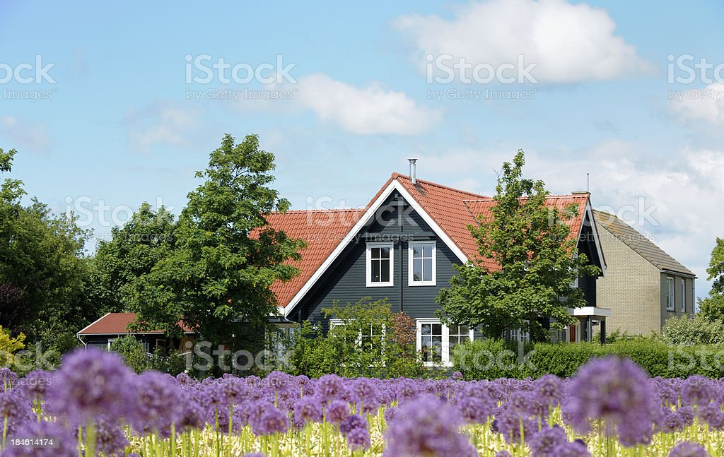 field with onion flowers in front of farmhouse stock photo