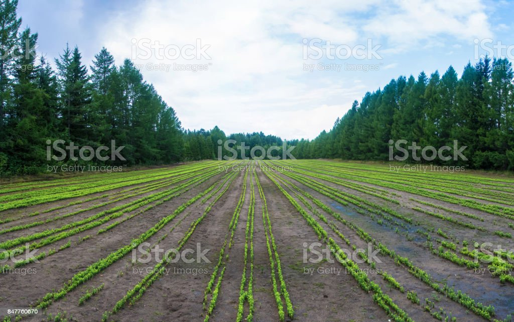 Field with orderly rows of little pine trees. стоковое фото