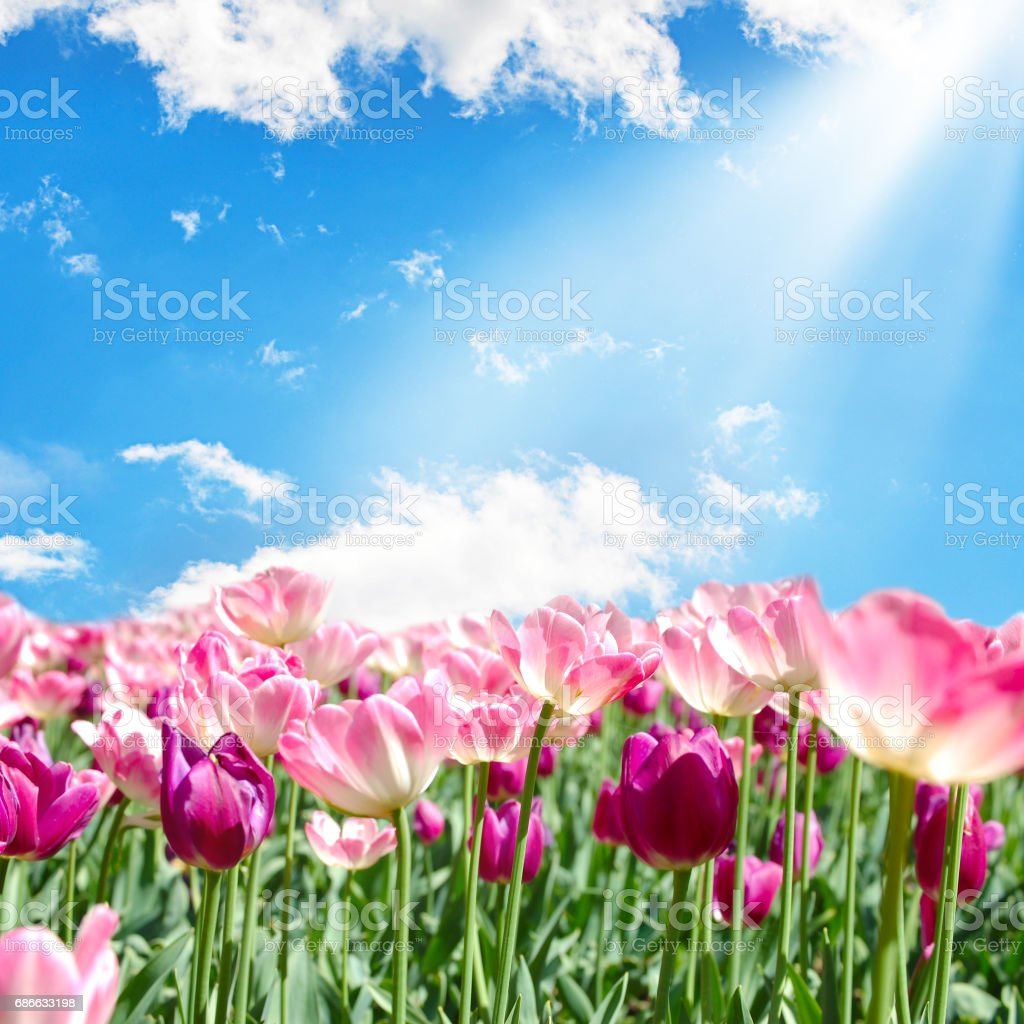 Field with pink tulips on blue sky background royalty-free stock photo