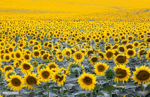 field with plenty of blossoming sunflowers, natural background