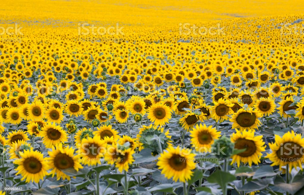 field with plenty of blossoming sunflowers stock photo