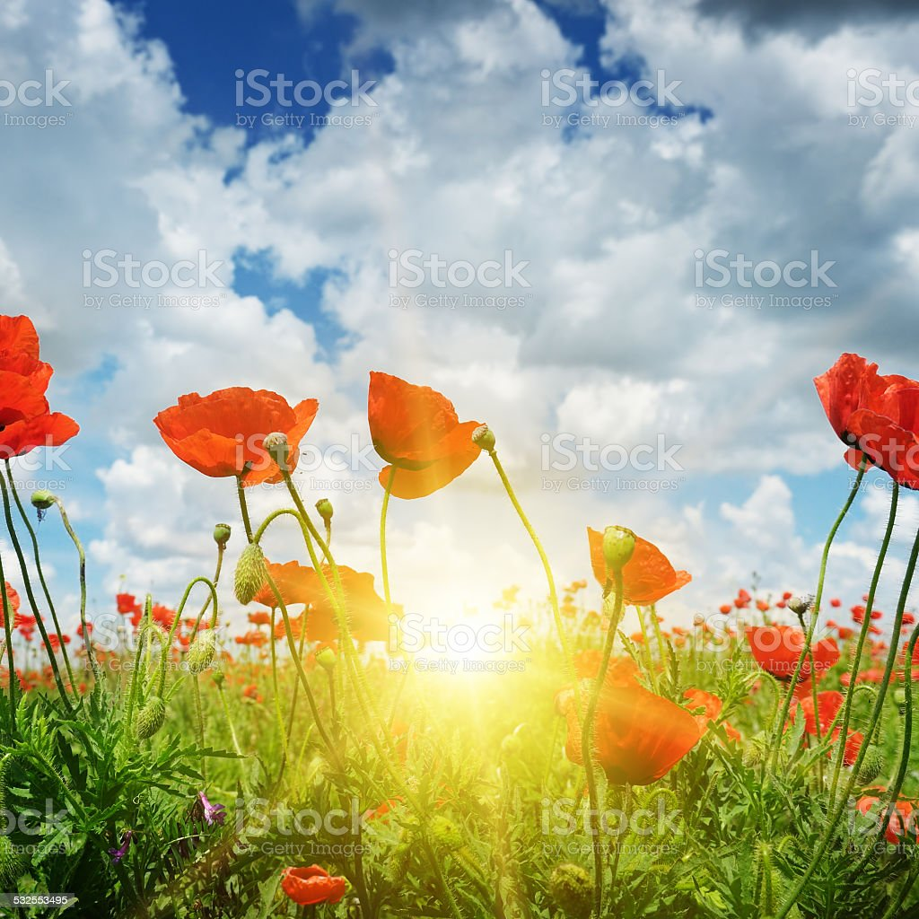 field with poppies and sun on  sky stock photo