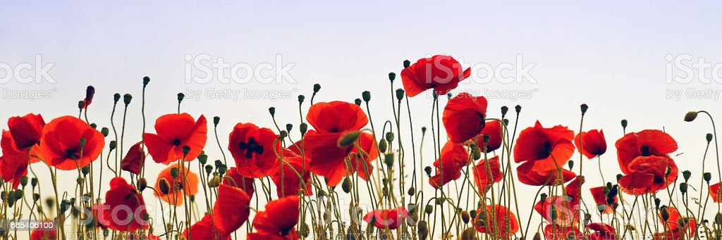 A field with poppies in the evening stock photo