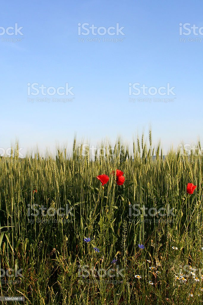 Field with poppies royalty-free stock photo