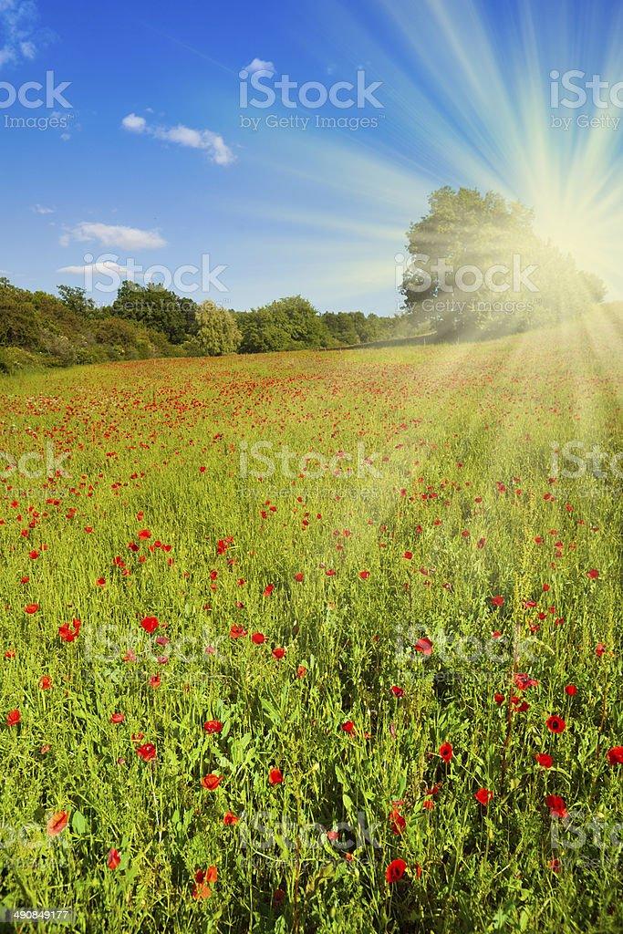Field with poppy flowers stock photo
