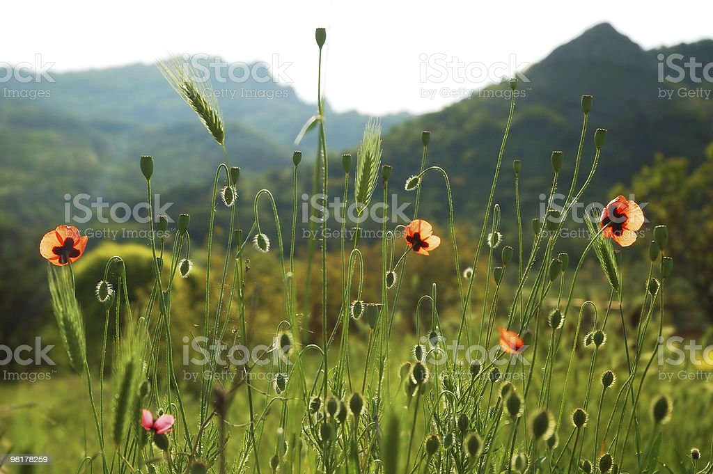 Field with poppy royalty-free stock photo