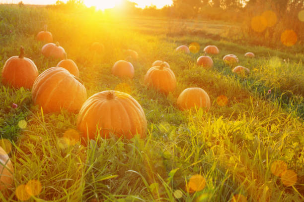 field with pumpkins at sunset stock photo